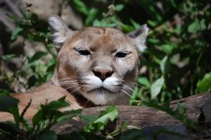 animal representation of Kaypacha is cougar